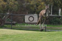 Kangaroo on The Field