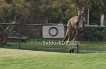 Kangaroo on The Field